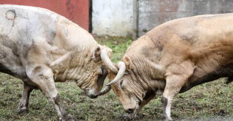 toros de nuñez del Cuvillo